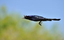 Grackle comum Foto de Stock Royalty Free