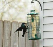 Grackle comum no alimentador do pássaro Fotografia de Stock Royalty Free