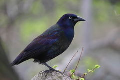 Grackle comune immagine stock