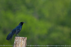 Grackle comune Fotografie Stock