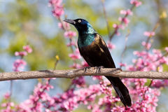 Grackle in een redbudboom Royalty-vrije Stock Foto