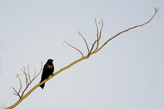 Grackle en couleurs Photographie stock libre de droits