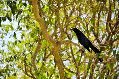 Grackle Grand-suivi Photo stock