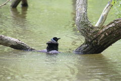 Grackle having a bath. Royalty Free Stock Images