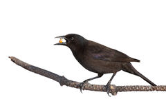 Grackle holds a piece of corn in its beak. While standing on a branch; white background stock photo