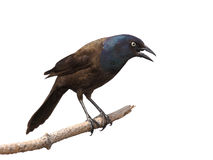 Grackle intimidates scream and gaze Stock Photography