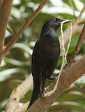 Grackle- knot lunch Royalty Free Stock Photography