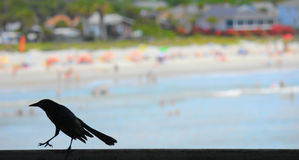 Grackle on an ocean pier Stock Photos