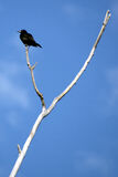 Grackle Perched Atop Y shaped, Dead Tree. A common grackle perches atop the barren branches of a dead tree stock images