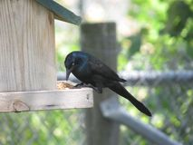 Grackle. Perched on bird feeder eating Stock Images
