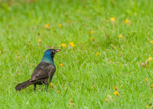 Grackle Stock Photos