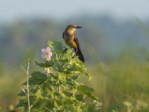Grackle perched on plant. Royalty Free Stock Image