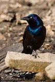 Grackle. Perched on a stone in the sun Stock Photos