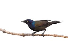 Grackle prepares of flight. Full profile of grackle as it prepares of flight; white background stock photography