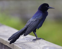 Grackle Stock Photography