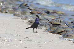 Grackle - Quiscalus - waiting for a feast. Along the Delaware Bay. Litmus Polyphemus otherwise known as the horseshoe crab line the beach. Females lay hundreds stock photos