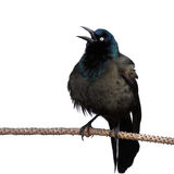 Grackle screeches while perched on a branch. White background royalty free stock images