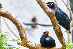 Grackle sitting on the branch. Stock Photos