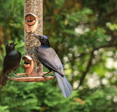 Grackle in training. Adult Grackle training his young how to feed on a bird feeder Royalty Free Stock Photography