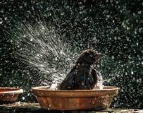 Grackle vattenlek Arkivfoton