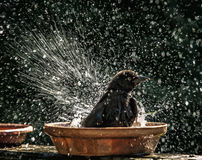Grackle Water Play. A young common grackle splashes water in all directions during a vigorous bath in a flower pot base in a Northern Virginia backyard on a warm Stock Photos