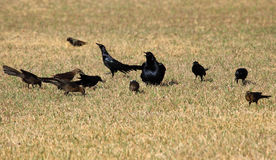 Grackles Royalty Free Stock Photography