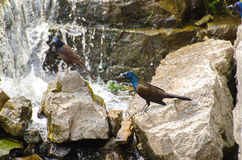 Grackles Fishing On The River. A group of Grackle birds sit on the rocks patiently waiting to catch fish near this waterfall on the Napanee River Stock Photos