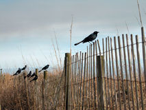 Grackles on sand dune fence Royalty Free Stock Image