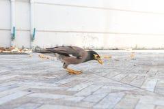 Gracula religiosa or myna bird Stock Images