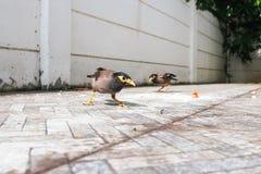 Gracula religiosa or myna bird Royalty Free Stock Photos