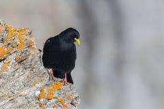 Graculus del pyrrhocorax dell'uccello del gracchio alpino che sta sulla roccia rossa Fotografia Stock