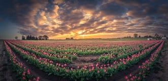 180 grad sikt av soluppgång över tulpanfält Royaltyfria Bilder