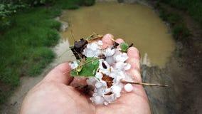 Grad w rękach mężczyzna lodowaci grochy katastrofalny opady deszczu dla uprawy obraz royalty free