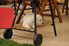 Grade do fole da mentira do filhote de cachorro do retriever dourado Fotos de Stock