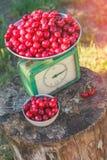 Graderar den berusade körsbärsröda skörden royaltyfri foto
