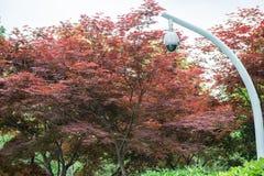 360 gradi di videosorveglianza su un palo, albero di acero Fotografie Stock