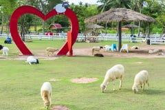 Gradiamo le pecore Allevamento di pecore di Pattaya Fotografia Stock Libera da Diritti