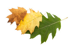 Gradient autumn oak leaves Stock Image