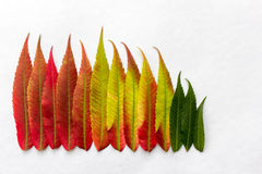 Gradient colored leaves arranged in a row Stock Photography