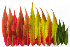 Gradient colored leaves arranged in a row closeup Royalty Free Stock Image