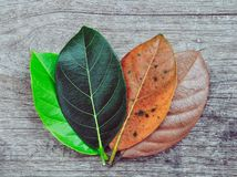 Gradient jackfruit leaves on different stages autumn senescene on wood background stock photo