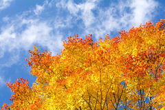 Gradient maple leaves Royalty Free Stock Photography