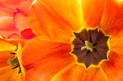 Gradient tulip front view Royalty Free Stock Photography