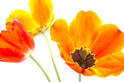 Gradient tulip in a slant Royalty Free Stock Image
