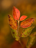 Gradually changing leaves. Autumn leaves gradually changing colors Royalty Free Stock Images
