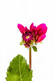 Gradually open the crimson flower dahlia Stock Image