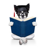 Graduate dog Royalty Free Stock Photos