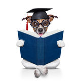 Graduate dog Royalty Free Stock Photography