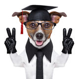 Graduate dog. With peace fingers and happy Stock Images