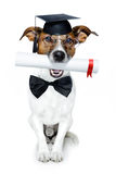 Graduated dog. Dog graduated from school with black tie holding the diploma in his mouth stock photography